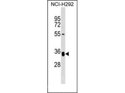 GNPTG antibody