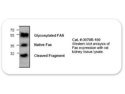 Fas/Apo1 Antibody