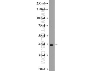 CRYZL1 antibody