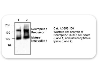Neuropilin-1 Antibody