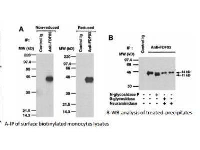 Rat Monoclonal PILR-alpha Antibody