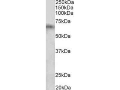 Cytochrome P450 2D10 Antibody