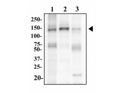 TLR9 Antibody (2A4C6.2E5)