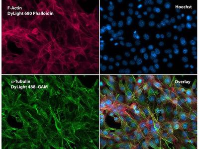 alpha Tubulin Monoclonal Antibody (TU-01)