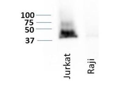 CD47 Antibody (B6H12.2) - Azide Free