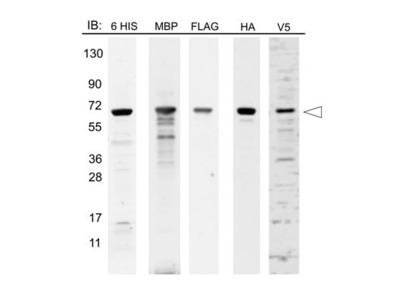 12 Epitope MBP Tag Protein Marker Lysate