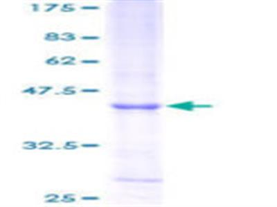 Ribonuclease, RNase A Family, K6 (RNASE6) (AA 24-150), (full length) protein (GST tag)