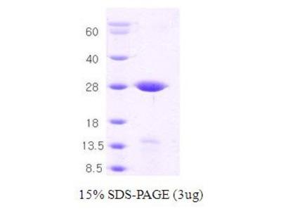 Syntaxin 1A (Syx1A) Protein
