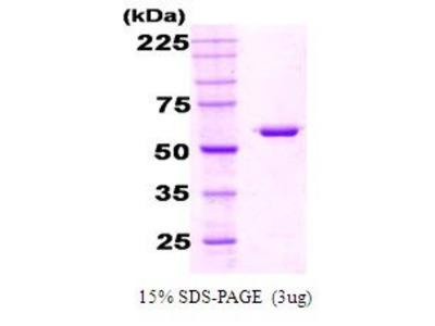 GroEL (groEL2) Protein