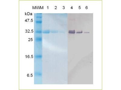 Active Recombinant Follistatin Protein