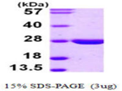 LYPLA2 Protein