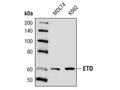 ETO Antibody