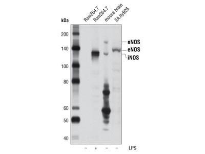 NOS (pan) Antibody