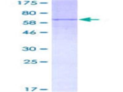 LIPA (lysosomal acid lipase A) Protein