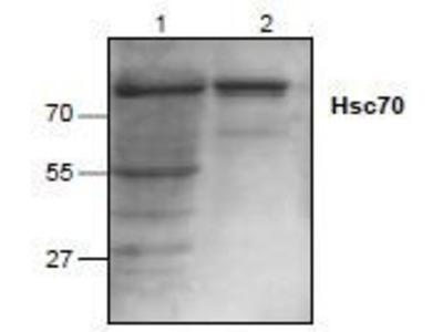 HSPA8 /HSC71 /Hsc70 Antibody
