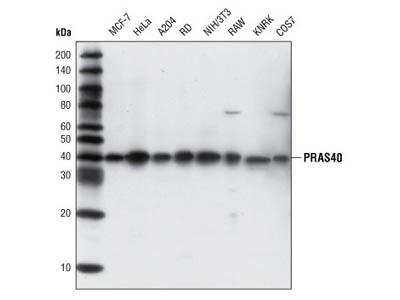PRAS40 (D23C7) XP ® Rabbit mAb