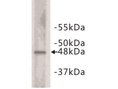 Cyclin E2 (Cyclin E2) Antibody