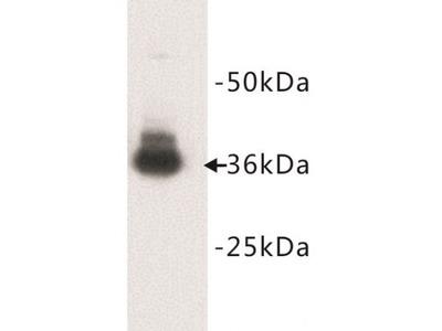 Glycophorin A (GYPA) Antibody