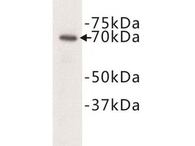 Complement C3 beta chain Antibody