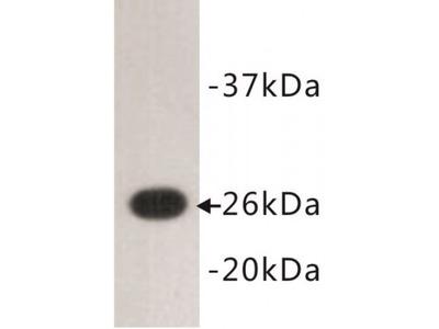 GFP Antibody