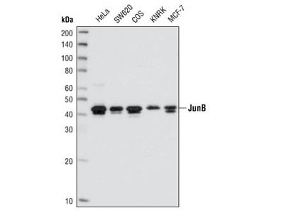 JunB (C37F9) Rabbit mAb