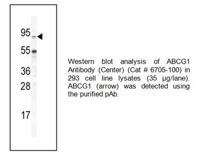 ABCG1 Antibody (Center)