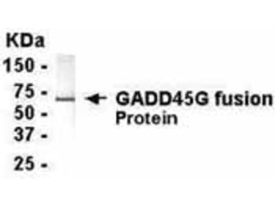 GADD45G Antibody