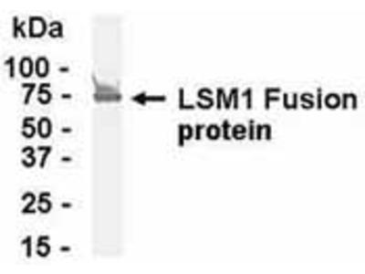 Chicken Polyclonal LSM1 Antibody