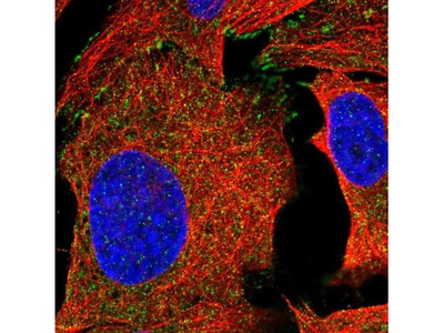 C4orf36 Antibody