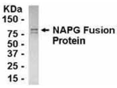 Chicken Polyclonal NAPG Antibody