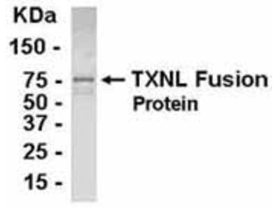 Chicken Polyclonal TXNL1 Antibody