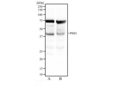 PIM1 Antibody