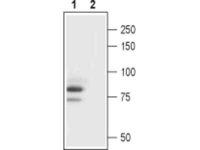 Guinea pig Anti-TRPC3 Antibody