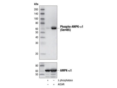 AMP Activated Protein Kinase 1, phosphorylated (AMPK)