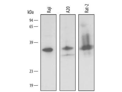 BNIP3L Antibody