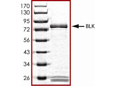 Active Blk Protein