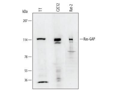 Ras-GAP Antibody