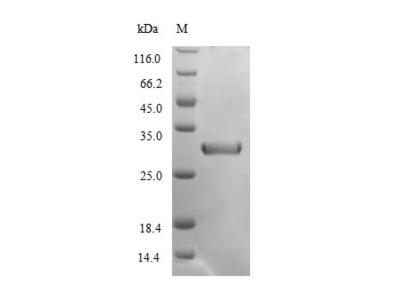 Recombinant Mouse Chymotrypsin-like elastase family member 2A