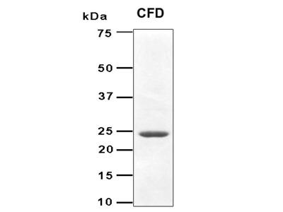 Recombinant Human Adipsin (CFD) protein
