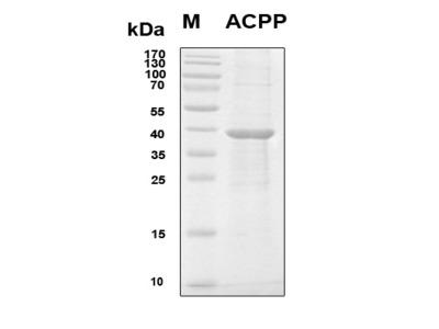 Recombinant Human Prostatic Acid Phosphatase