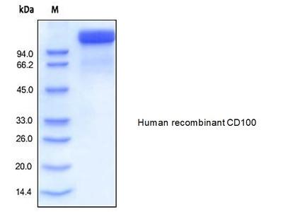 Human CellExp™ SEMA4D /CD100, human recombinant