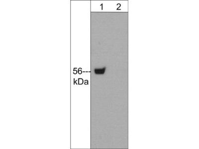 Lck (N-terminal region) Antibody