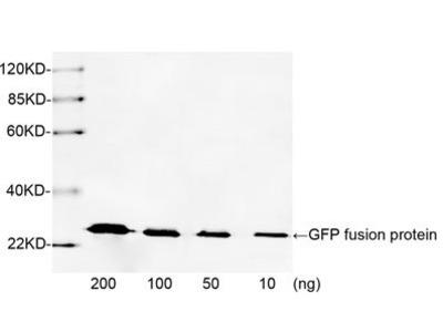 anti-Green Fluorescent Protein (GFP) antibody