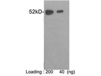 anti-E Tag antibody
