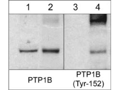 PTP1B (a.a.146-157) Antibody