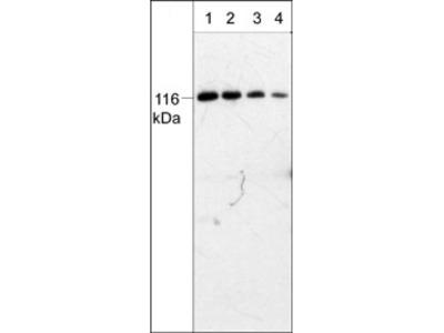 PYK2 (C-terminal region) Antibody