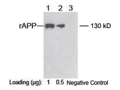 anti-Amyloid beta (A4) Precursor Protein (APP) (AA 671-685) antibody