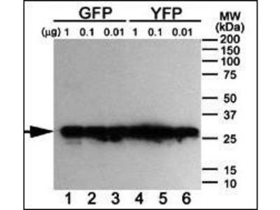 anti-GFP Tag antibody