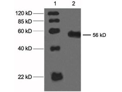 anti-Cytochrome P450, Family 2, Subfamily C, Polypeptide 23 (Cyp2c23) antibody