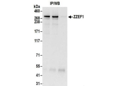 Rabbit Polyclonal ZZEF1 Antibody